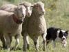 meeker-classic-sheepdog_championship