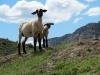 meeker-colorado-lambs