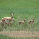 Villard Ranch pronghorn - Melody Villard (17)