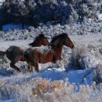 Wild horses ted harper elk deer 017